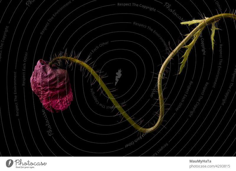 getrockneter Klatschmohn im Schummerlicht Mohnblume Mohnblüte Blume rot Natur Mohnfeld Sommer Pflanze Farbfoto Mohnwiese Mohnkapseln