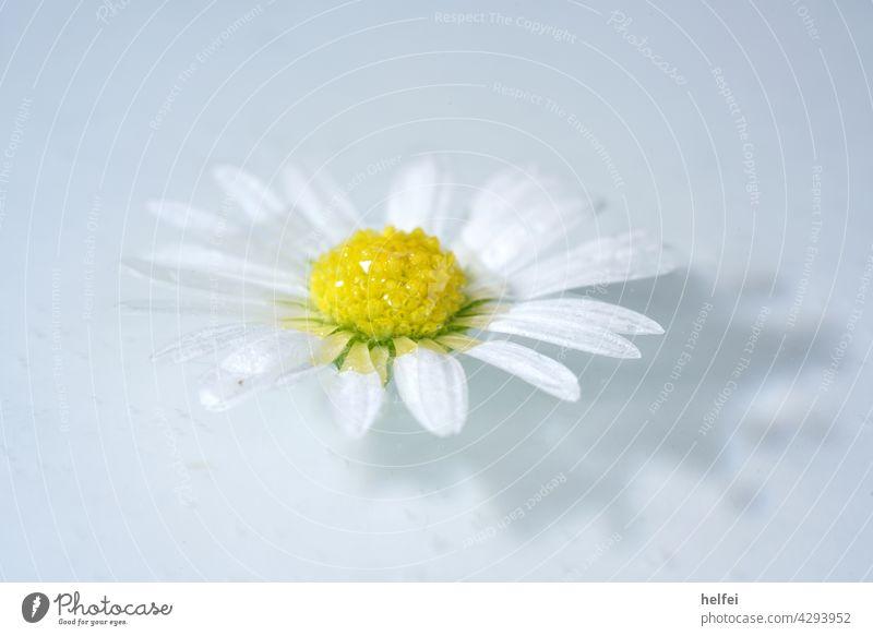 Gänseblümchen im Wasser treibend mit Schatten, Makro Aufnahme im Studio Blüte Makroaufnahme Wiesenblume Gänseblume Blütenblätter Tausendschön Wildpflanze