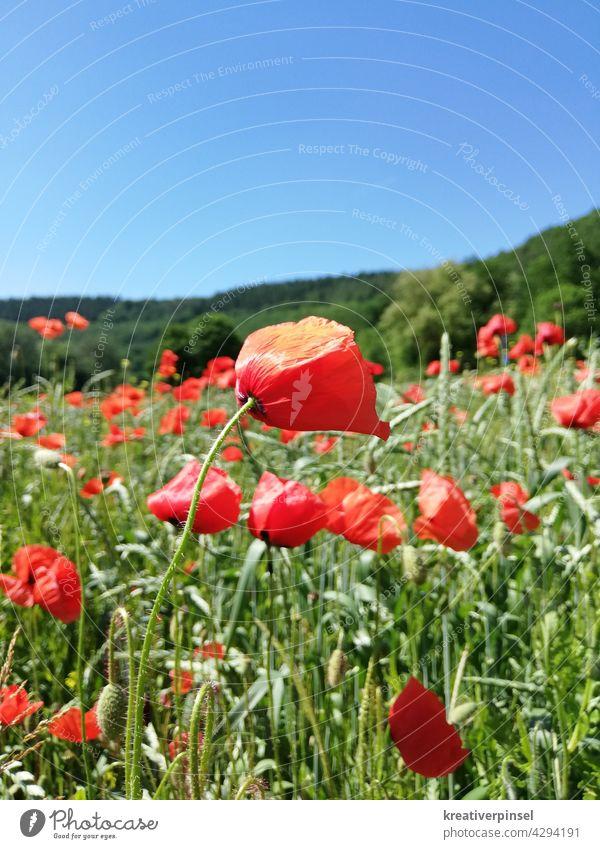 Mohn im Wind 🍃 Mohnfeld Mohnblüte mohnblumen mohnwiese Mohnblume Sommer Wiese Klatschmohn roter mohn Feld Blume Idylle Pflanze Menschenleer