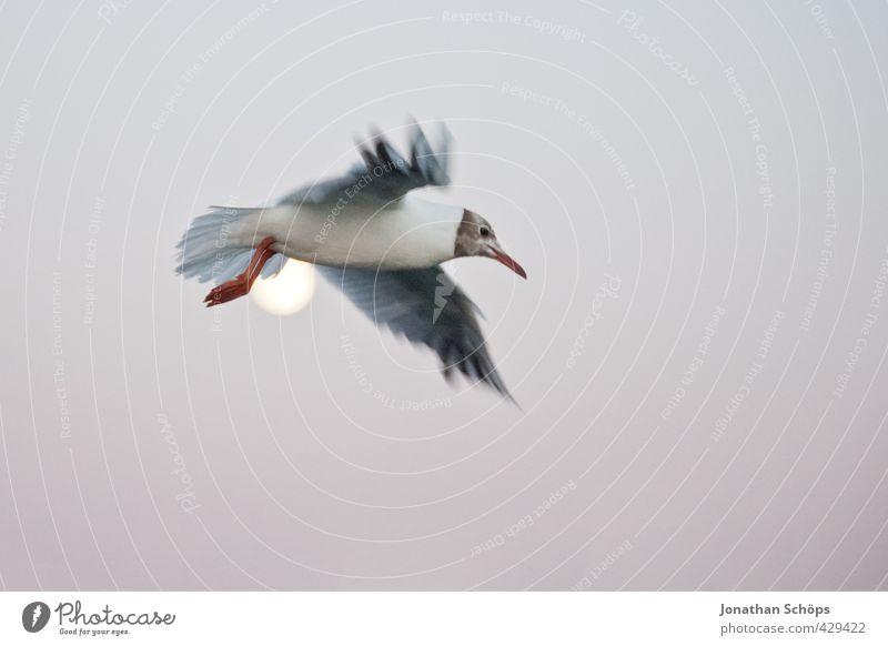 Flug über den Mond II Himmel Tier Freiheit außergewöhnlich Vogel fliegen Flügel Ostsee Wolkenloser Himmel Möwe Schweben Mond Höhe fliegend Vogelflug erhaben