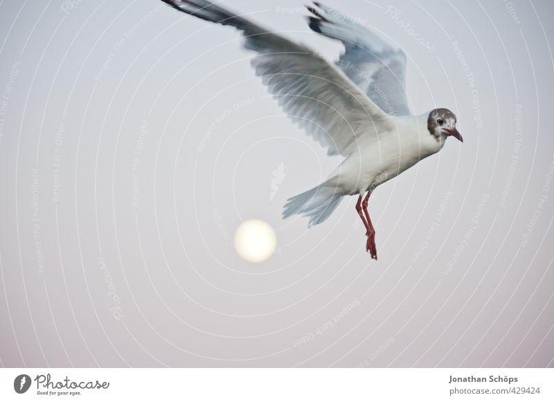 Flug über den Mond III Tier Abend Mondschein Mondaufgang Möwe Möwenvögel fliegen fliegend Freiheit Flügel Schweben erhaben Höhe Überflug Urlaubsfoto Ostsee