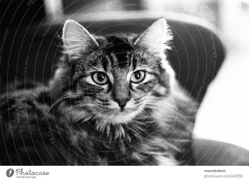 Norwegische Waldkatze Katze analog Norwegen