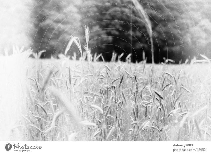 Kornfeld Weizen nah Äre Bett im