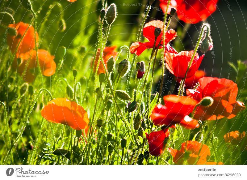 Mohn blütenblatt dunkel dämmerung erholung erwachen ferien garten kleingarten kleingartenkolonie knospe menschenleer mohn mohnblume mohnblüte natur pflanze ruhe