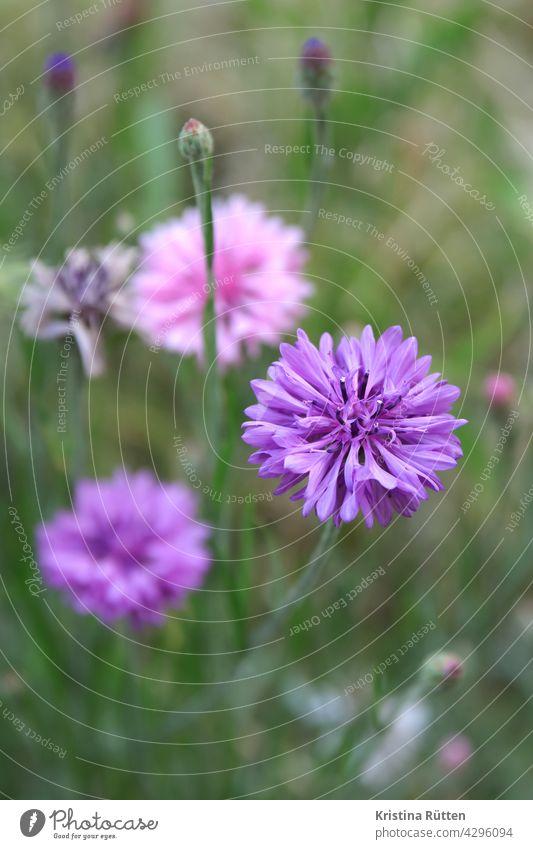 kornblumen in lilatönen violett rosa blühen blüte blüten zyane draussen natur wiese blumenwiese wildblumenwiese feld wegesrand draußen garten bauerngarten grün