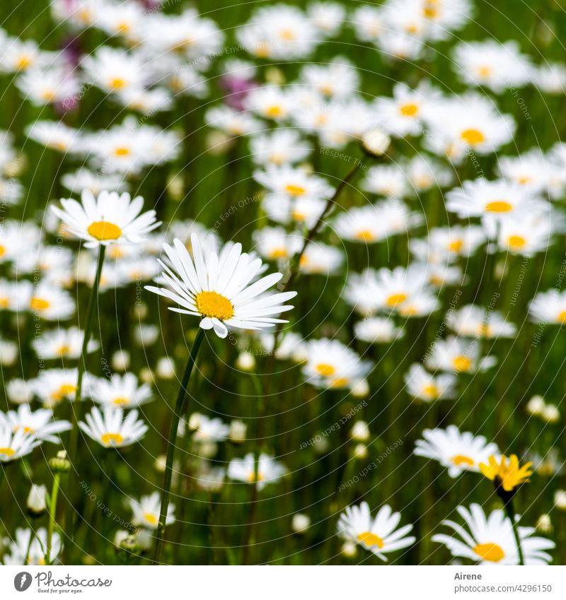 noch mehr Margeriten Blumenwiese Wiesenblume weiß Sommer grün natürlich Natur sommerlich Garten Sommertag blühen Blüte blühend Blüten Sommerwiese üppig viel