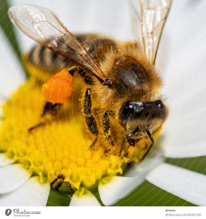Sammelleidenschaft Biene Blume fleißig Margerite natürlich krabbeln genießen ansammeln Lebensfreude nachhaltig Duft Pollen Pflanze Blüte Nutztier Insekt fliegen