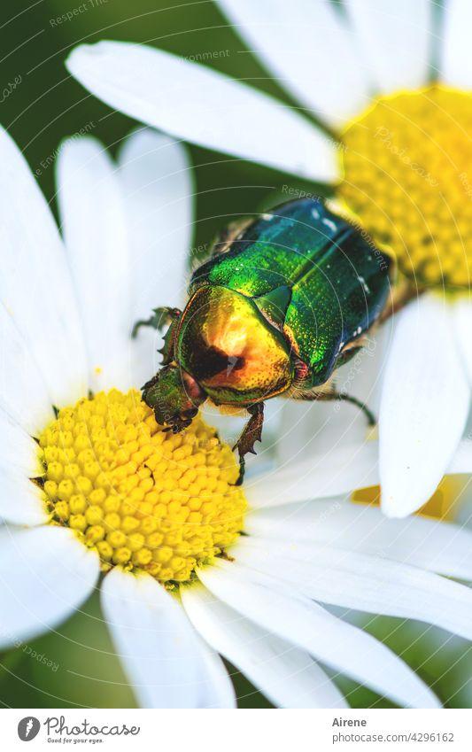 Rosenkäfer auf Abwegen Margerite Käfer weiß gelb grün glänzend golden schillernd krabbeln Blüte Pollen Bestäubung Blütenstaub blühen Garten Sommer Wiese