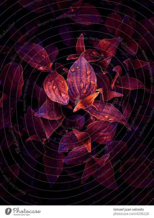 rote Pflanzenblätter in der Natur Blätter Blatt Garten geblümt natürlich Laubwerk dekorativ Dekoration & Verzierung abstrakt texturiert Frische im Freien