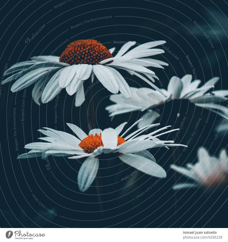 romantische Gänseblümchen-Pflanze im Garten im Frühling Blume weiß Blütenblätter geblümt Flora Natur dekorativ Dekoration & Verzierung Schönheit