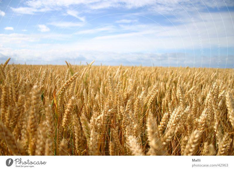 getreidemeer Himmel Sonne blau Wolken gelb Ferne Feld gold Getreide Amerika Weizen