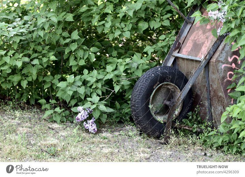 Eine alte rostige Schubkarre mit dicken schwarzen Ballonreifen versucht sich in einem Fliederbusch zu verstecken, was ihr aber nicht ganz gelingt Garten grün