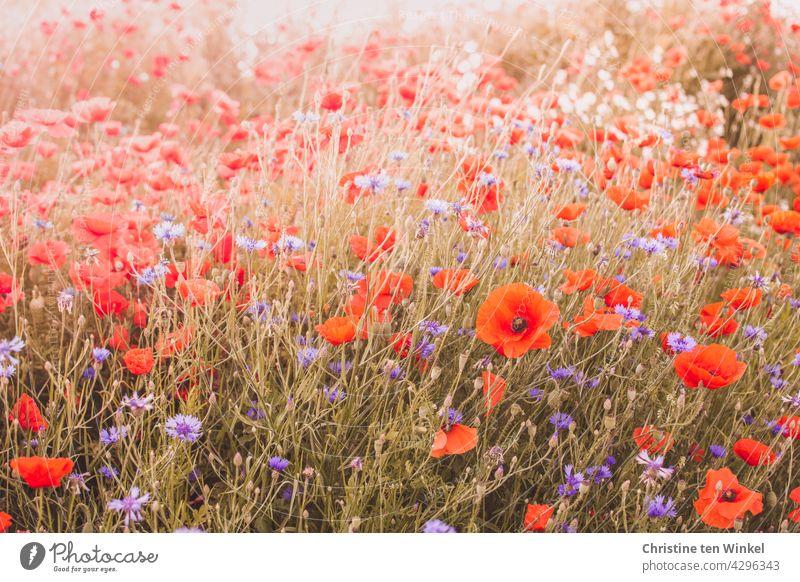 Mohn und Kornblumen auf einem Hügel im Gegenlicht Mohnblüte Papaver rhoeas Klatschmohn Mohnwiese rot blau Licht Sommer schön Blühend Feld Wiese Blumenwiese
