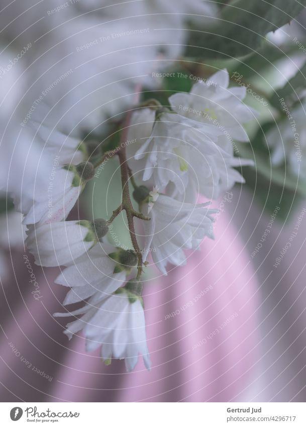 Weiße Blumen in einer rosa Vase Blumen und Pflanzen Stillleben Natur Blüte Frühling Sommer Farbfoto weiß Unschärfe Schwache Tiefenschärfe Nahaufnahme