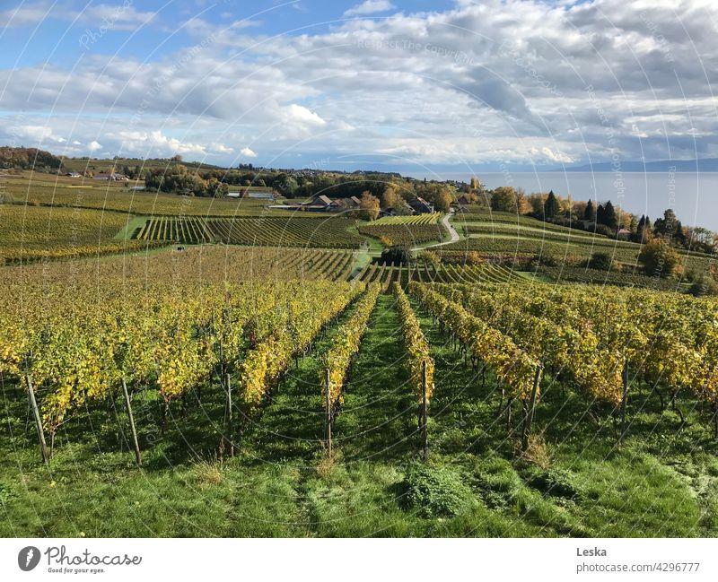Weinberge, See und Wolken Trauben Reben grün Weinbau Weinrebe ländlich Landschaft Natur Ernte