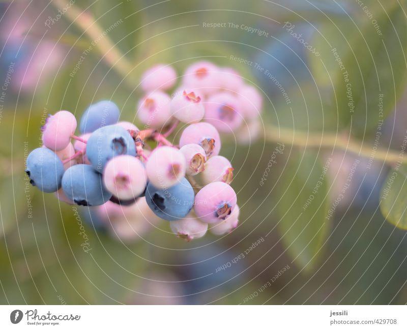 Pink Blueberry Natur Pflanze Nutzpflanze Garten Wachstum unreif warten Blaubeeren Landwirtschaft Ernte pflücken Zweig Sträucher Netzwerk Frucht Jubiläum