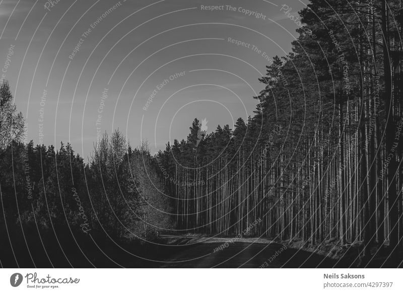 Kiefernwald in Lettland. Schwarz und weiß Frühling Sonnenuntergang Version. Wald Weg Straße Schmutz Sonnenlicht Saum warm nadelhaltig Landschaft Holz Gegend
