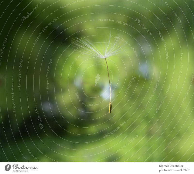 federleicht Wind fliegen Löwenzahn Samen Schweben Fallschirm Blume