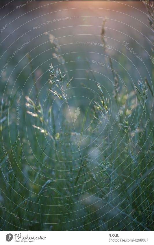 Gräser im Morgenlicht morgens Morgenstimmung Außenaufnahme Natur Menschenleer Morgendämmerung Sonnenlicht Farbfoto ruhig Stimmung Wiese Gras Licht