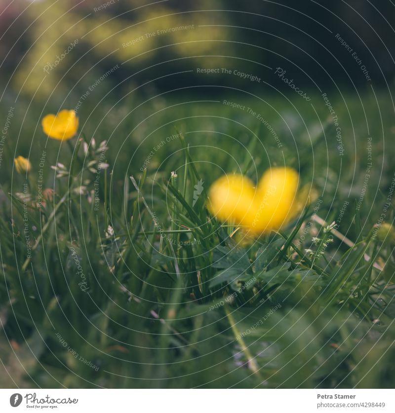 Sonnenherz, gelbes Herz Gelb Grün Blüte Gras Wiese Blume Pflanze Natur Außenaufnahme Menschenleer Niemand