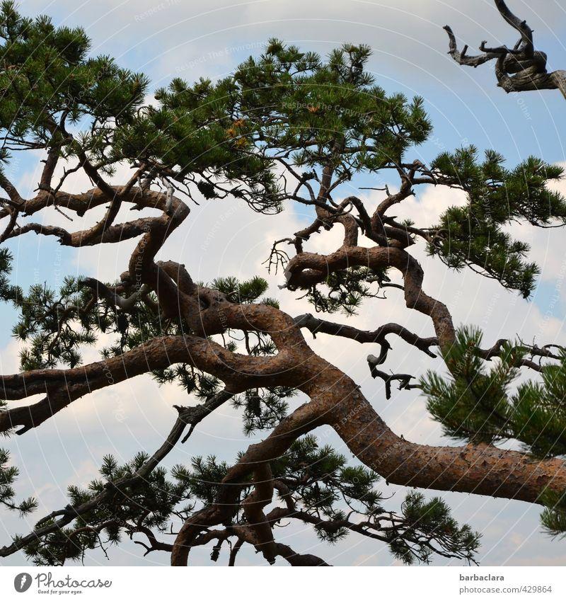 Rauhes Klima Natur Himmel Wolken Sommer Baum Kiefer Wald wild Kraft ästhetisch Bewegung bizarr Überleben Umwelt Wachstum Farbfoto Außenaufnahme Detailaufnahme