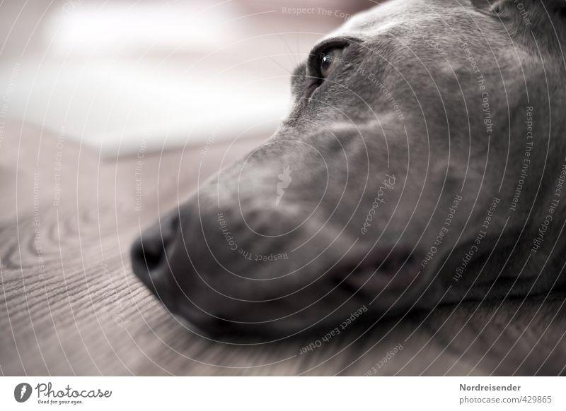 Tia Hund Erholung Tier Liebe träumen braun ästhetisch beobachten Pause Müdigkeit Haustier verträumt friedlich Tierliebe dankbar Weimaraner