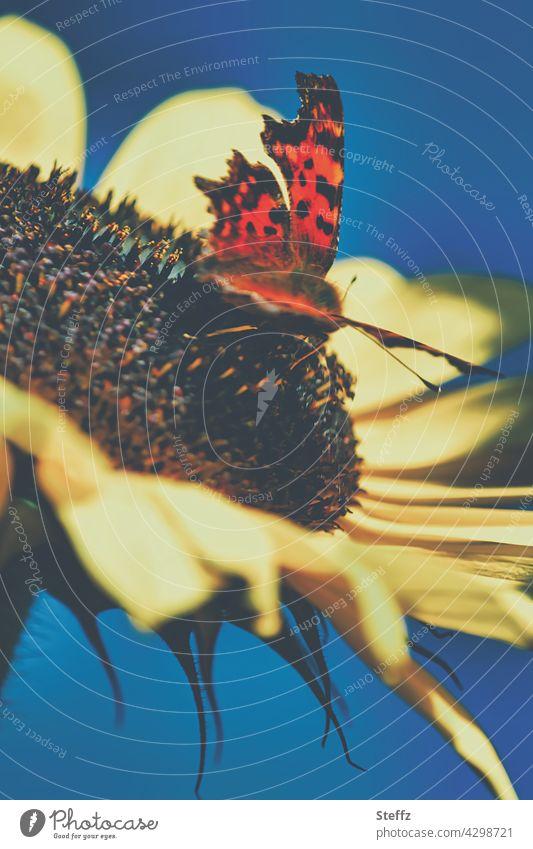 C-Falter auf einer Sonnenblume am sonnigen Sommernachmittag Schmetterling Polygonia c-album Sommerwärme Waldfalter Edelfalter Gartenbesucher Sommerblume