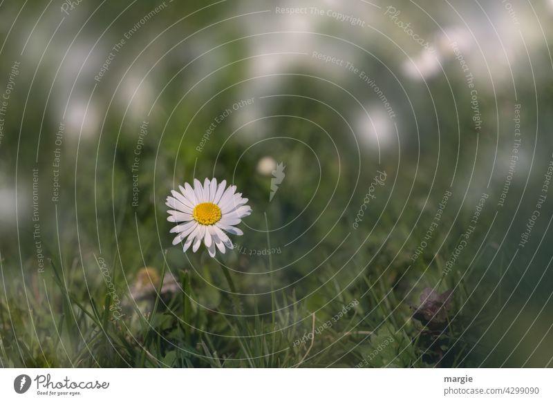 ....ich bin auch ein Gänseblümchen! Sommer Wiese Blume Gras Pflanze Rasen grün Blüte Garten Blühend Außenaufnahme Unschärfe Wildpflanze Blumenwiese