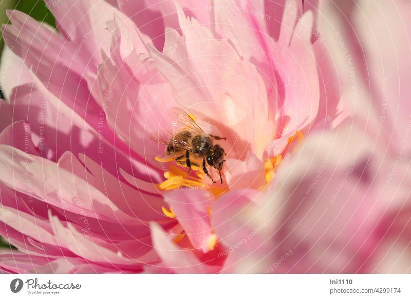 rosa Blüte einer Pfingstrose mit einer Biene Blütenblätter Blütenstempel Staubgefäße Pfingstrosen Staudenpfingstrose Paeoniaceae Garten Bauerngarten Blume