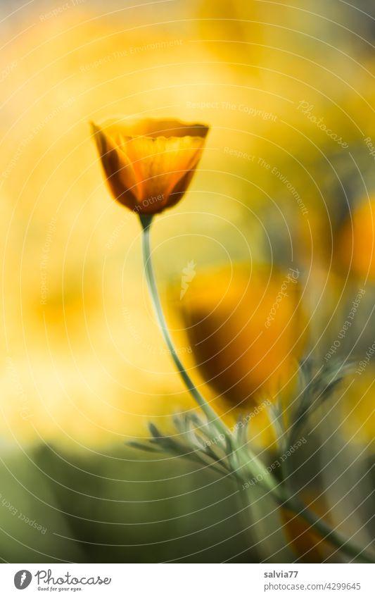 gelb-orange leuchtet der Kalifornische Mohn im Gegenlicht Blumen Blüten Sommer Kalifornischer Mohn Natur Blühend Duft pastell Mohnblüte Garten leuchtende Farben