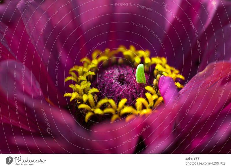Kuriosität der Natur Blüte Blume Zinnie Zinnia lila Blühend violett Makroaufnahme Schwache Tiefenschärfe Pflanze natürlich Sommer schön Unschärfe kurios Duft