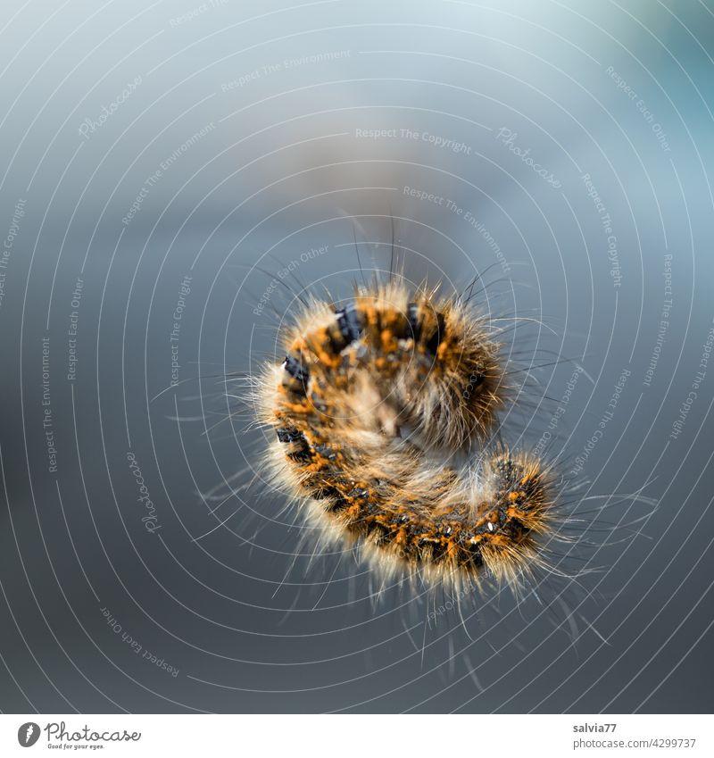 Raupenrolle, wo ist vorne? Natur Tier Insekt Larve haarig Makroaufnahme Schmetterling Schwache Tiefenschärfe Zentralperspektive Hintergrund neutral 1