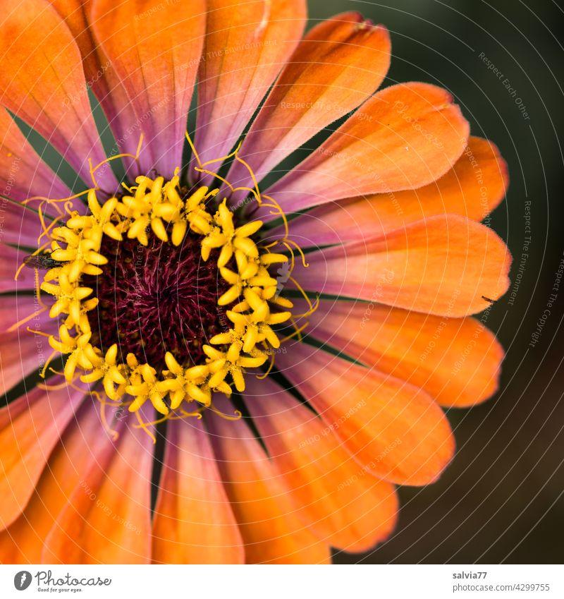 orange Zinnienblüte mit Krone und Verzierung Blüte Blume Dekoration & Verzierung Blühend Pflanze zinnie rund Sternchen Kontrast Farbfoto gelb schön Natur Sommer