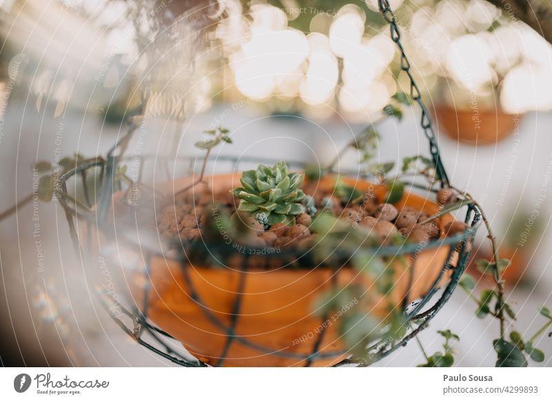 Pottes suculent eingetopft Topfpflanze sukkulent Hintergrund botanisch Pflanze Garten grün Natur Wachstum natürlich Dekoration & Verzierung Blume heimwärts Haus