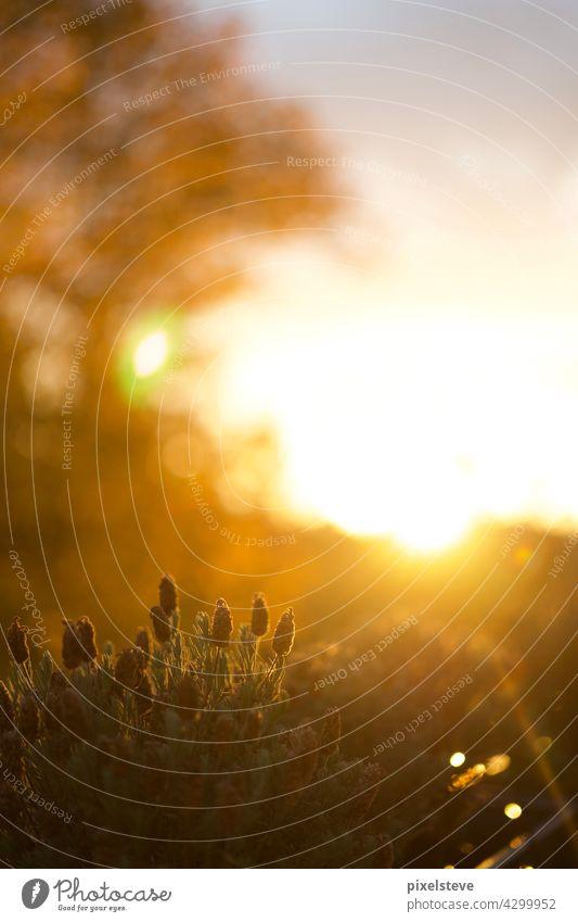 Goldener Sonnenuntergang im Herbst sonne flieder Lavendel Sonnenschein sonnenuntergang blume frühling sommer garten Balkonpflanze blüte natur Sonnenlicht flora