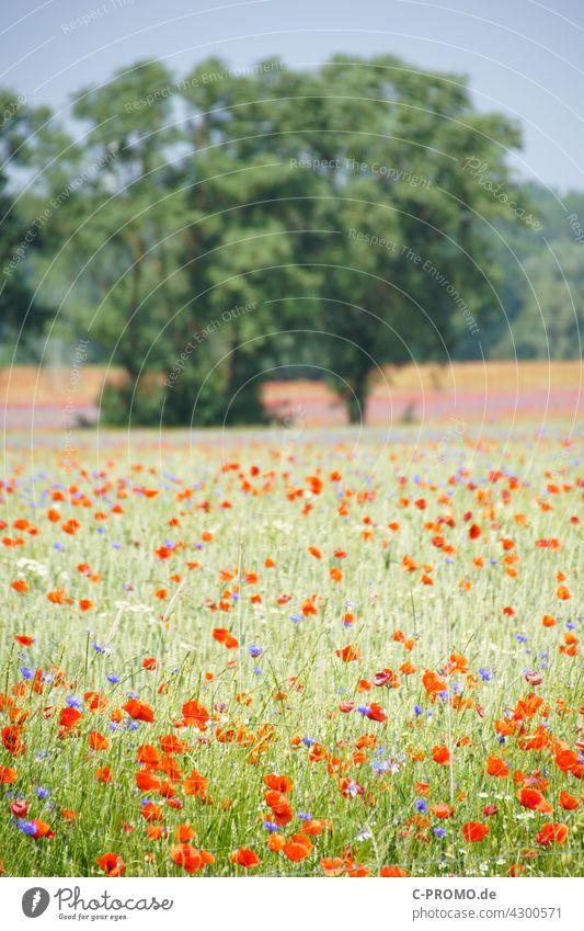 Getreidefeld mit Mohnblumen und Kornblumen getreide mohnblumen farbenfroh Himmel Wolken Acker agrar Wegrand Baum Feld Blumenmeer