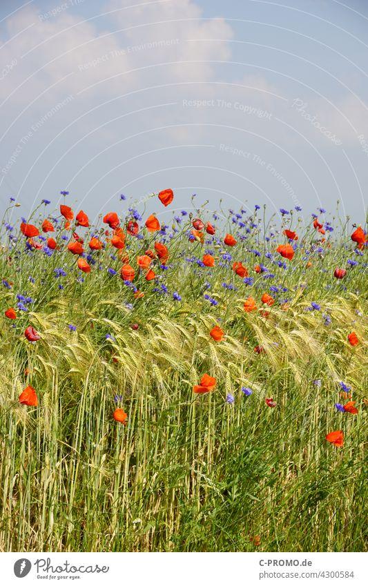Getreidefeld mit Mohnblumen und Kornblumen getreide mohnblumen farbenfroh Himmel Wolken Acker agrar Wegrand