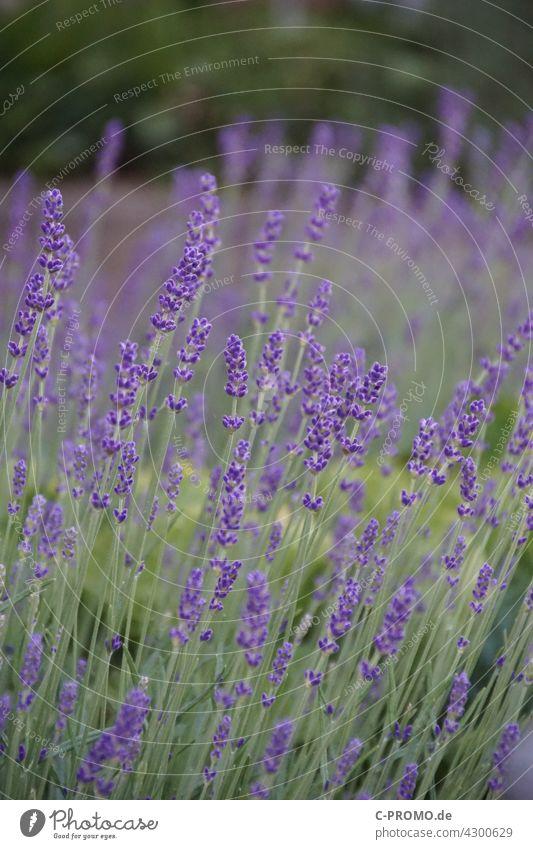Lavendel - Lila Blumenmeer Garten Beet grün Park Natur lila Blüte Pflanze lavandula angustifolia