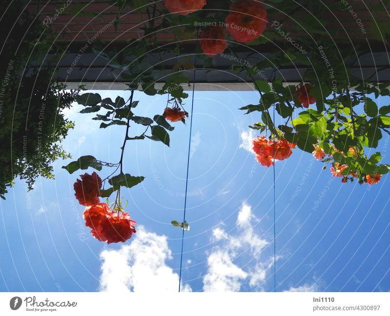 im Schatten liegend unter Rosenduft die Wolken beobachten Duftrose Westerland Rosenblüten betörend leuchten orange Rosenblätter schönes Wetter Sommer Hitze