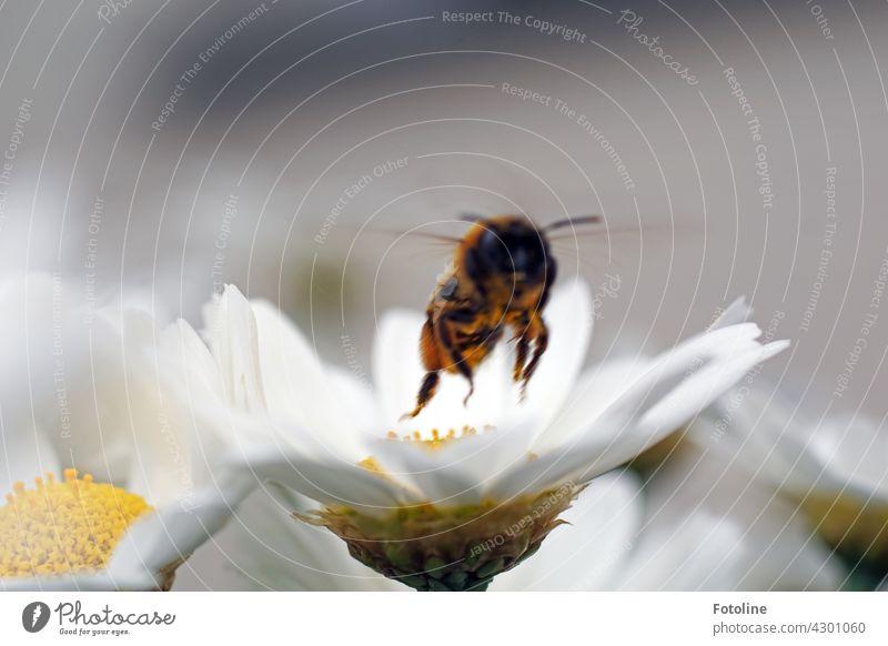 Und Abflug! Diese Blüte ist abgearbeitet. Die Biene startet und fliegt zur nächsten Blüte. Insekt Margaritte Blume Sommer Pollen Makroaufnahme Natur Honigbiene