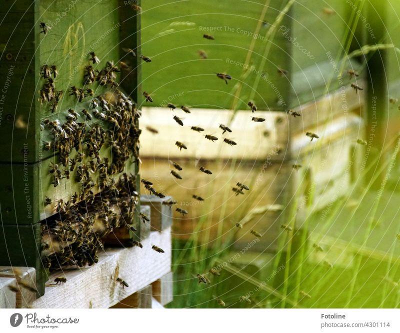 Die fleißigen Bienchen fliegen zum Bienenstock und sammeln sich dort um Nachrichten auszutauschen. Insekt Sommer Natur Honigbiene Tier Pflanze Garten Farbfoto