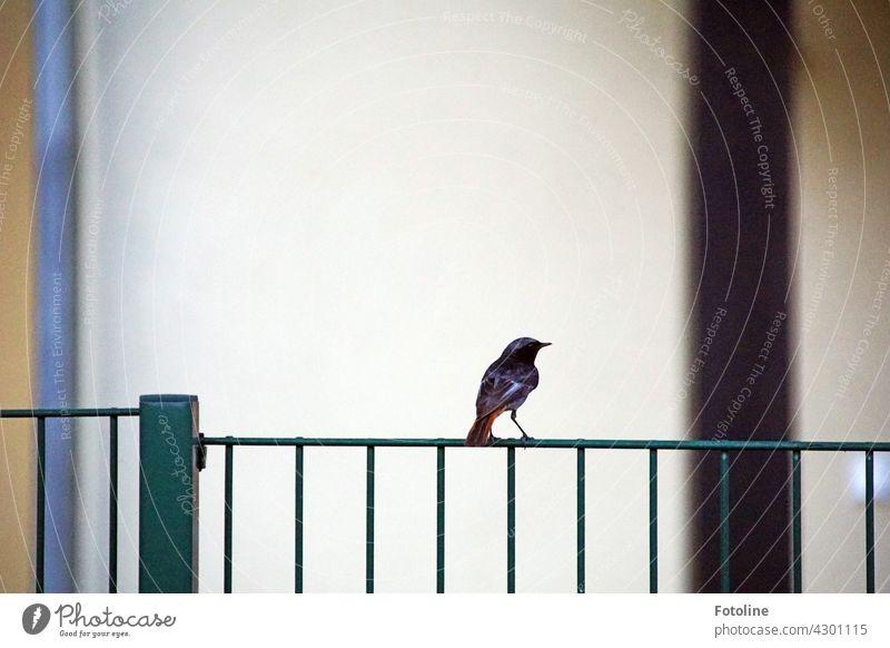 Ein Rotschwänzchen sitzt auf einem Metallzaun und post für Fotoline. Vogel Natur Tier Außenaufnahme Farbfoto Menschenleer Tag Wildtier 1 Umwelt