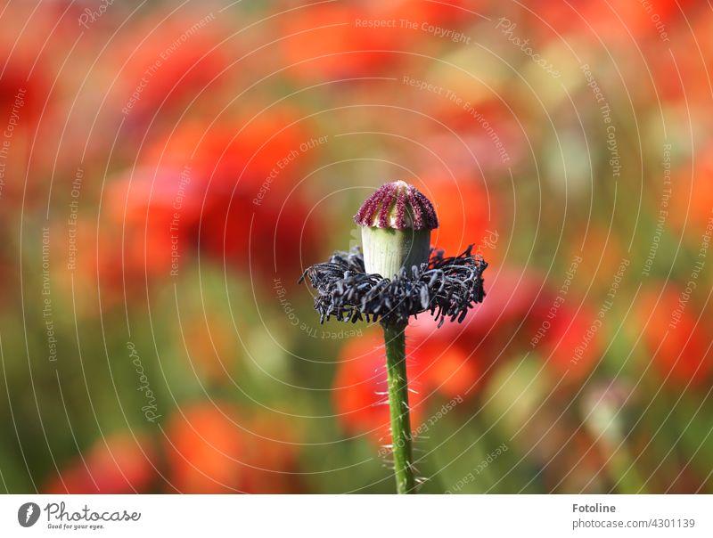 Wenn Mo(h)ntag der Friseur zu hat. Mohn Blume Blüte rot Natur Sommer Pflanze Mohnblüte Farbfoto Mohnfeld Außenaufnahme Feld Wiese Menschenleer Klatschmohn
