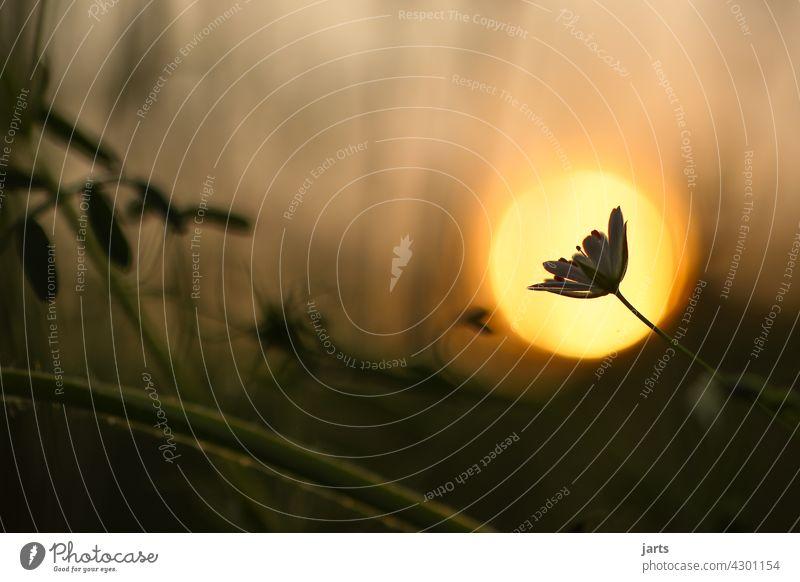 abendstimmung Blume Wiese Abend Stimmung Sonne Sonnenuntergang Sommer Natur Außenaufnahme Farbfoto Pflanze Sonnenlicht Menschenleer Gegenlicht Dämmerung Umwelt