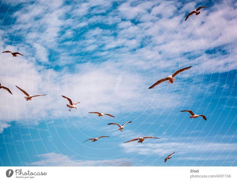 Möwen fliegen in den leuchtend blauen Himmel Air MEER Fliege Wolken Cloud weiß Tier Vogel Flügel im Freien Natur Schwarm Möwenschwarm Vögel