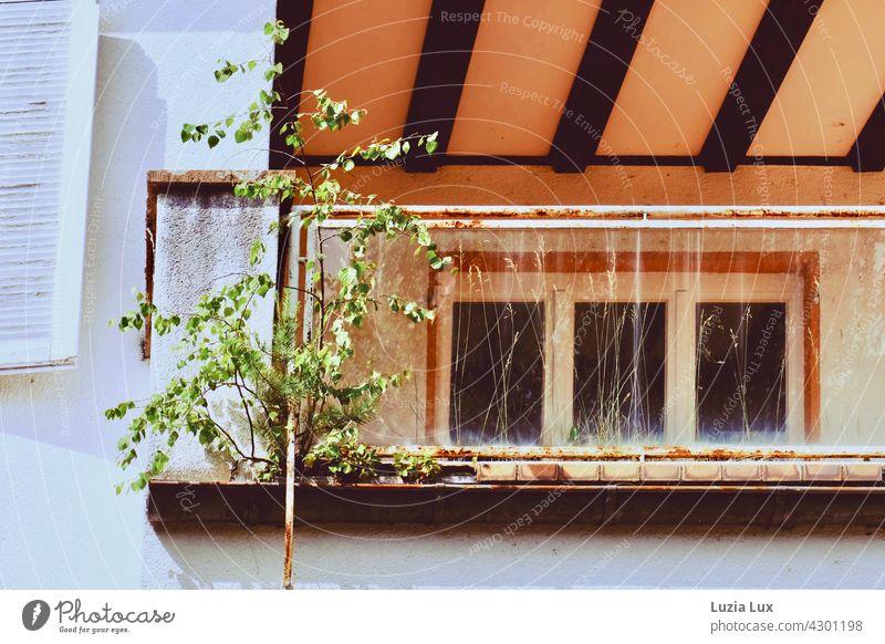 Natur kehrt zurück oder eine Birke wächst auf einem verwahrlosten Balkon Leerstand Frühling Fassade Sonnenlicht Sonnenschein widerstandsfähig zäh genügsam