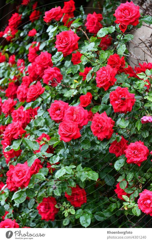 Rote Kletterrosen ranken an einer Hauswand empor kletterosen rot rote dornen gehölz sommer blumen sommerblumen blüte blühen garten haus hauswand klettern