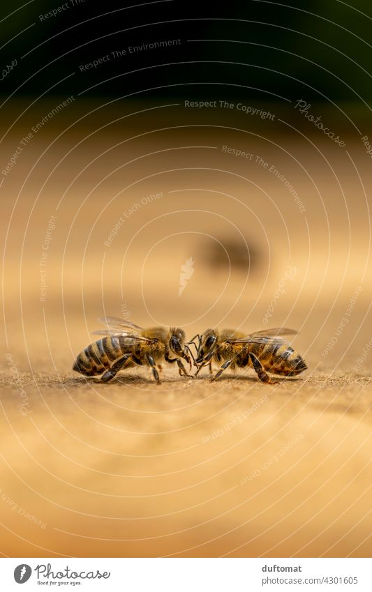 Makro Foto zweier Bienen die sich abtasten Zwei Natur natürlich Insekt Insekten Tier Makroaufnahme Paar Nahaufnahme Flügel tiere Tiere in der Wildnis Pollen
