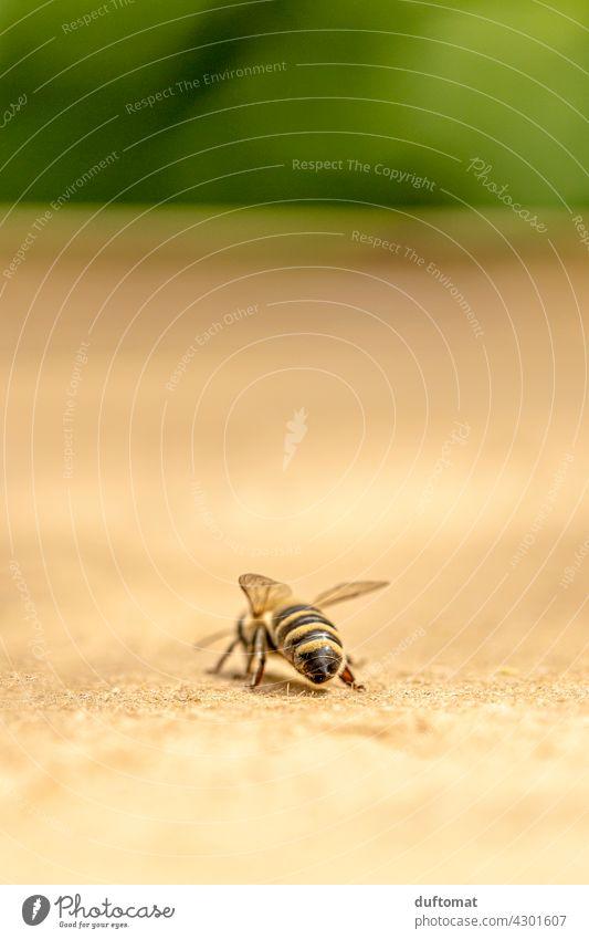 Makro Foto einer Biene von hinten Natur natürlich Insekt Insekten Tier Makroaufnahme Nahaufnahme Flügel Pollen Außenaufnahme Nektar Honig fliegen fleißig