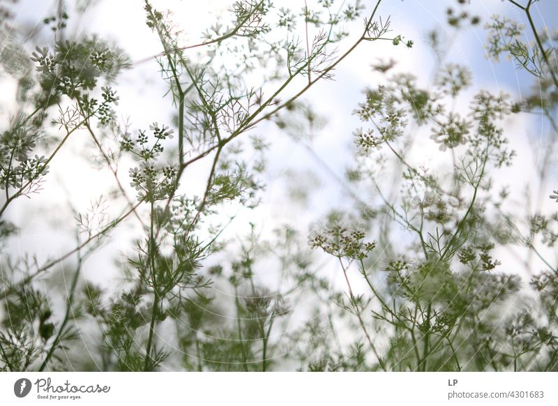 Hintergrund von Korriander Pflanzen gegen den blauen Himmel und Sonne Feld feminin Wärme fest Hoffnung Freiheit Kontrast Low Key geheimnisvoll träumen Gefühle